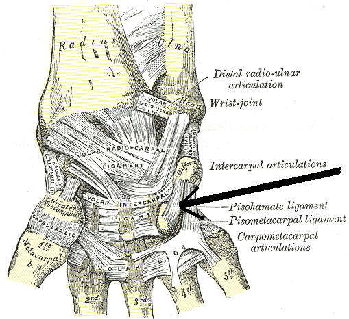 Anatómiai csukló