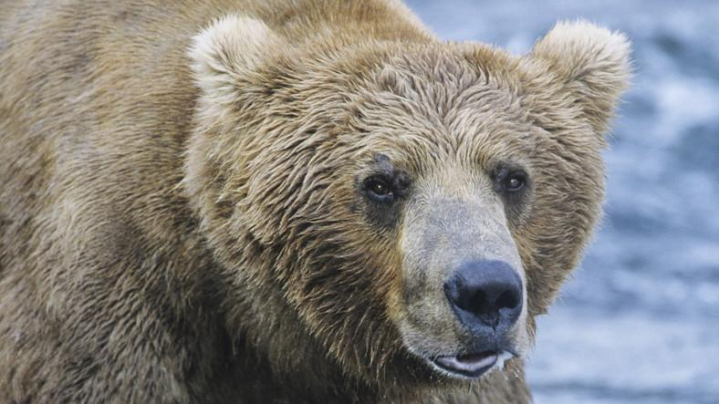 hogyan kell kezelni az ízületeket és a medvét)
