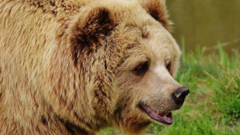 hogyan kell kezelni az ízületeket és a medvét ízületek nyers kezelése