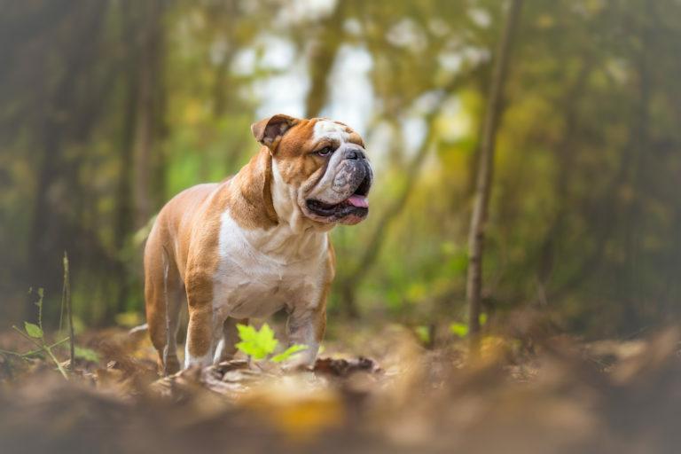 NOÉ Bulldog fajtamentő csoport - Egészségügyi rovat - Diszplázia