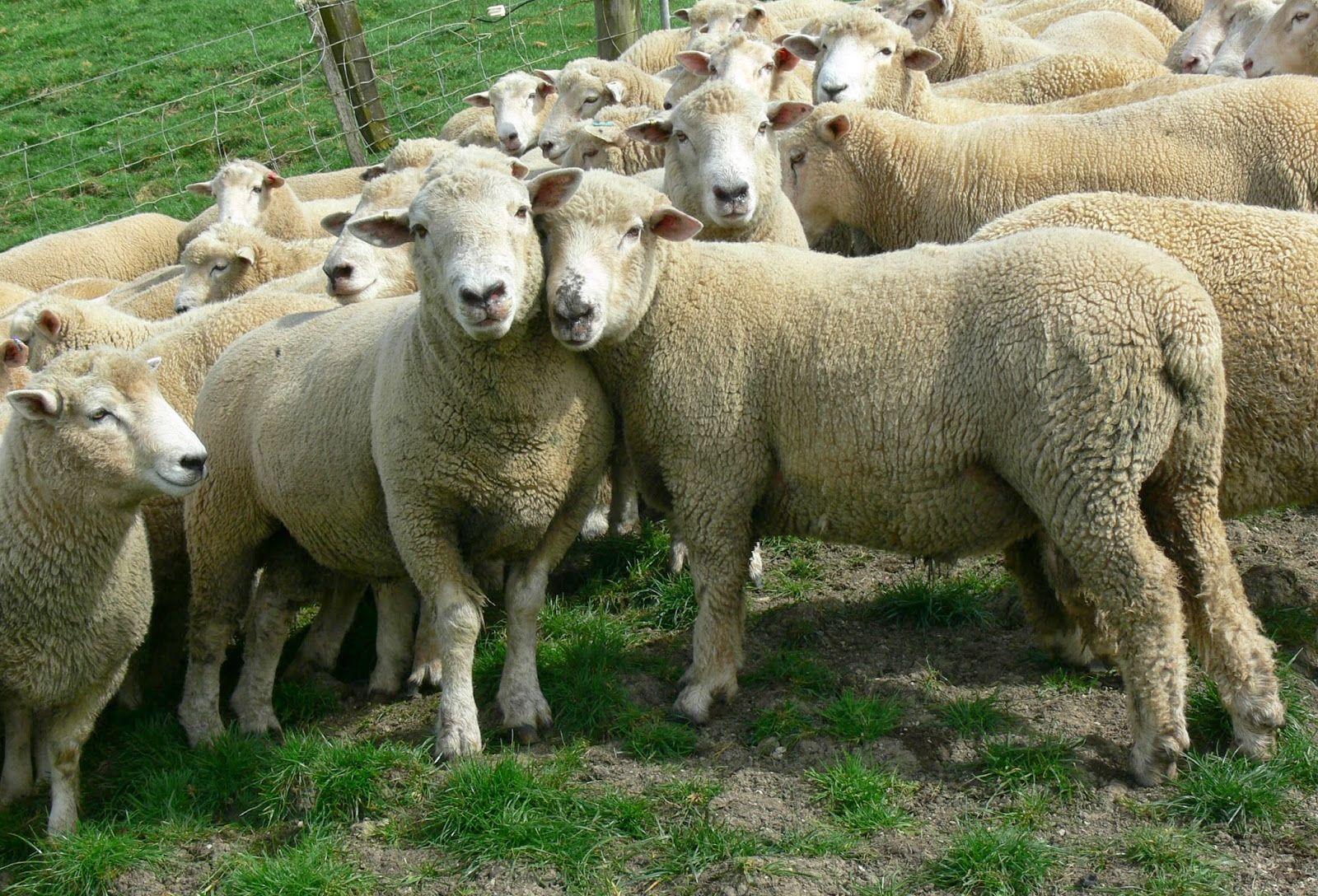 Woolmark Merino Bárány gyapjú garnitúra g/m2