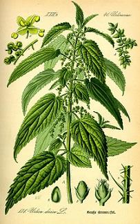 Gyógyszer helyett csalán | TermészetGyógyász Magazin