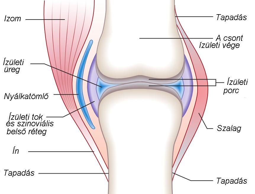 térdízület belső oldalsó ínszalagjának ligamentitisz)