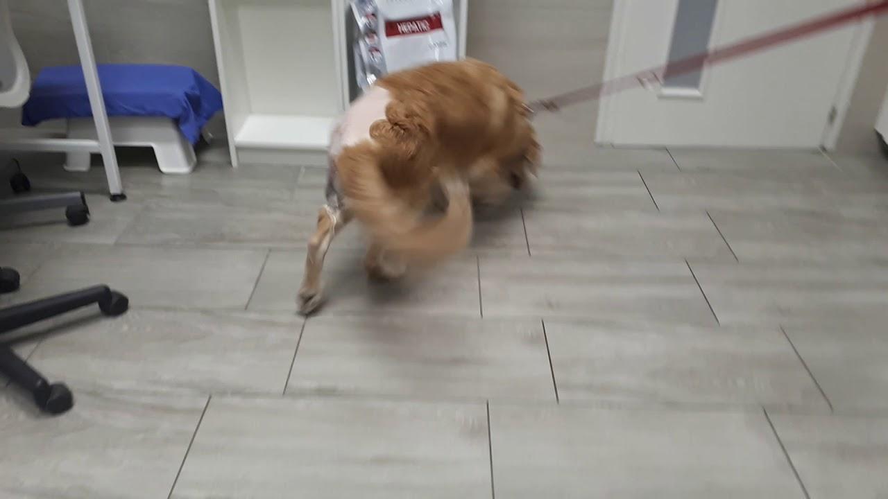 Csípő diszplázia (Csípőízületi diszplázia) kutyáknál - Zooplus Magazin