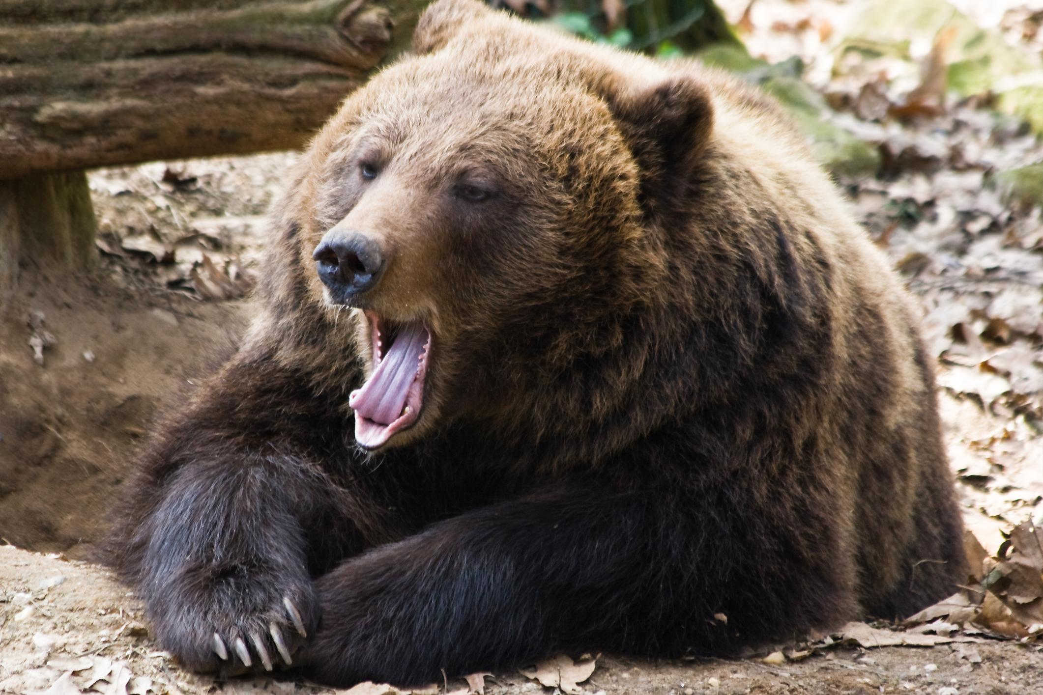 hogyan kell kezelni a medveízületeket